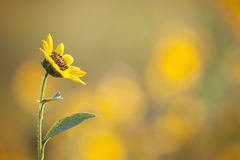 Sunflower facing inward. Landscape photo of a lone sunflower facing inward Royalty Free Stock Image