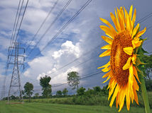 Sunflower Facing Power Lines Royalty Free Stock Photo