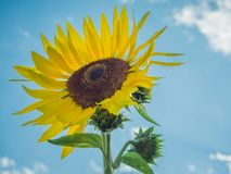 Sunflower Facing the Sky Stock Images