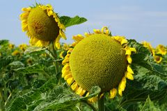 A sunflower facing the sky. stock image