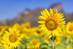Sunflower facing the sun, Bright yellow Stock Photography