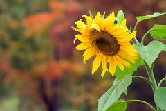 Sunflower in the Fall. A sunflower in the fall with the trees changing color in the background Royalty Free Stock Photo