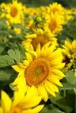 Sunflower farm. A sunflower farm in a vertical frame Stock Photography