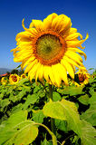 Sunflower in farm. 