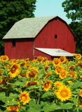 Sunflower farm. Midwestern sunflower farm in the late summer stock photos