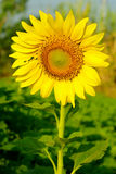 Sunflower in the farm Royalty Free Stock Photos