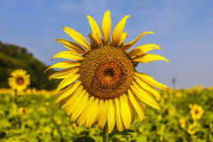 Sunflower. In the  farm Stock Photography