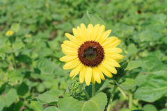 Sunflower in the farm Royalty Free Stock Photo