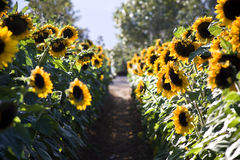Sunflower Farm Stock Image