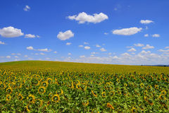 Sunflower farm. Field planted with sunflowers wth a cloudy sky Stock Photos