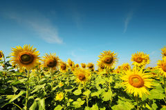 Sunflower farm with day light and blue sky Royalty Free Stock Photography