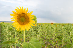 Sunflower Farm Field Agriculture Blue Sky Rural Scene stock photos