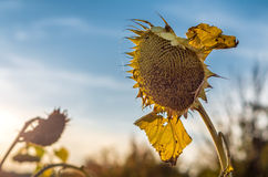 Sunflower on the farm field. Harvesting. Autumn. Fall. Sunflower on the farm fall field. Harvesting, Autumn Royalty Free Stock Images
