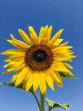 Sunflower in the farm Stock Photo