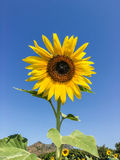 Sunflower in the farm Royalty Free Stock Image