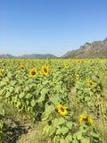 Sunflower in the farm Stock Photos