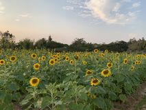 Sunflower Farm at Plant Science royalty free stock photography