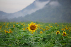 Sunflower. Farm after raining at Lopburi Royalty Free Stock Photos