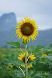 Sunflower. Farm after raining at Lopburi Stock Photo