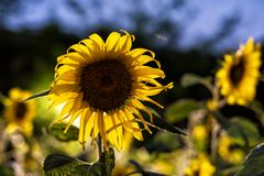 Sunflower farm with rim light at night. Sunflower farm with rim light and bokeh from electric bulb at night. Natural background wiht copy space for text royalty free stock image