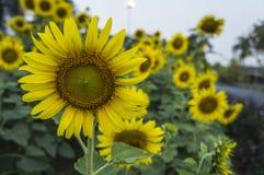 Sunflower farm  scenic field outdoor tree  farmland concept Royalty Free Stock Photo