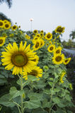 Sunflower farm  scenic field outdoor tree  farmland concept Stock Images