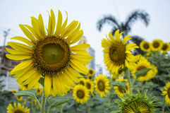 Sunflower farm  scenic field outdoor tree  farmland concept Stock Photos