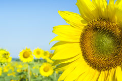 Sunflower on a farmer field Royalty Free Stock Photography