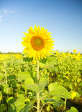 Sunflower on a farmer field Royalty Free Stock Images
