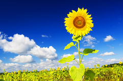 Sunflower on a farmer field Stock Photo