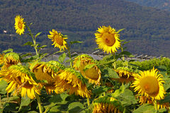Sunflower farming field Stock Photography
