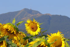 Sunflower farming field Royalty Free Stock Images