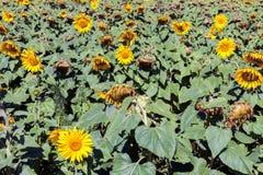 Sunflower farming Royalty Free Stock Photo