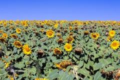 Sunflower farming Stock Photography