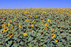 Sunflower farming Royalty Free Stock Images