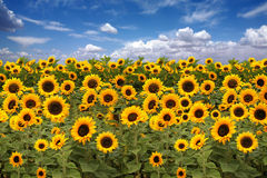 Sunflower Farmland With Blue Cloudy Sky Royalty Free Stock Photo