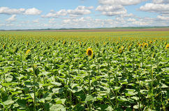 Sunflower Farmland Royalty Free Stock Photos