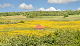 Sunflower Farmland royalty free stock photos