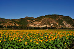 Sunflower farms. Under the blue sky of the sunflower in full bloom Stock Photo