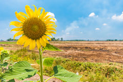 Sunflower in the feild in the summer. At noon Stock Images