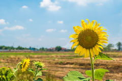 Sunflower in the feild in the summer. At noon Royalty Free Stock Photos