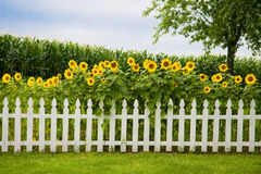 Sunflower fence Royalty Free Stock Photo