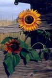 Sunflower fence Royalty Free Stock Image
