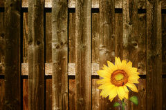 Sunflower with fence Royalty Free Stock Photos
