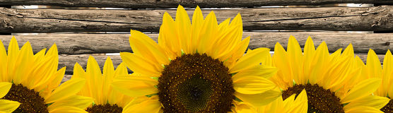 Sunflower and fence poles Royalty Free Stock Images
