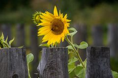 Sunflower and fence royalty free stock photos