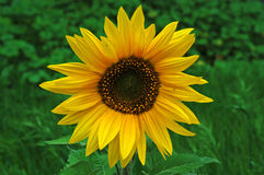 Sunflower in a Field. Shot on a cloudy afternoon Stock Images