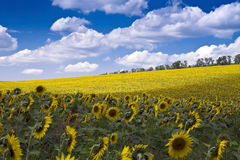 Sunflower Field. Sunny yellow sunflower field in summer stock image