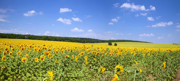 Sunflower field. In front of the beautiful sky Royalty Free Stock Photography