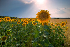 Sunflower field. At the sunset Royalty Free Stock Photo
